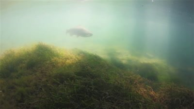 Several Rainbow Trout (Oncorhynchus Mykiss) swimming over water moss in sun rays