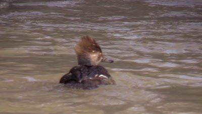 Goldeneye duck in winter stream
