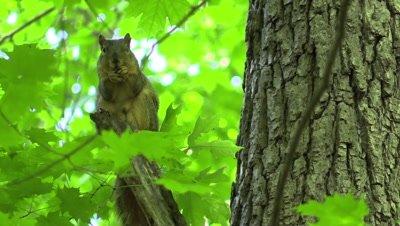 Fox squirrel in forest