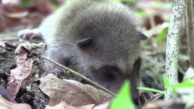 baby raccoon on forest floor eyes not open yet
