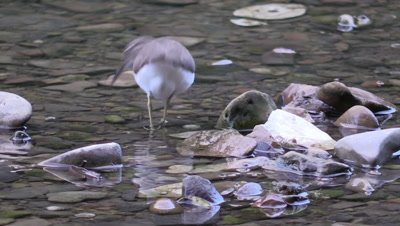 Solitary Sandpiper looking for food on rivers edge
