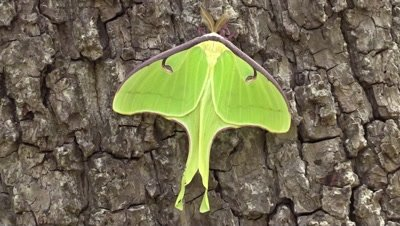 Luna moth on a tree