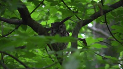 Eastern Screech Owl looking through the trees
