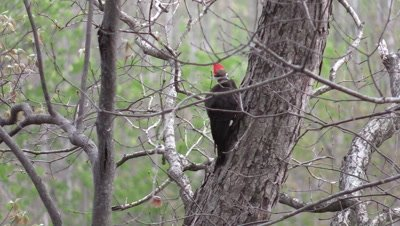 Pileated Woodpecker on tree in forest