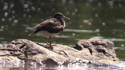 Bird Solitary Sandpiper along river