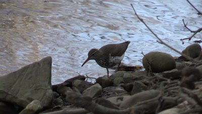 Bird Spotted Sandpiper along river