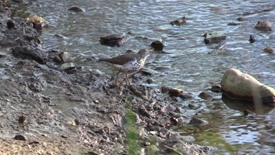 Bird Spotted Sandpiper along river searching for food