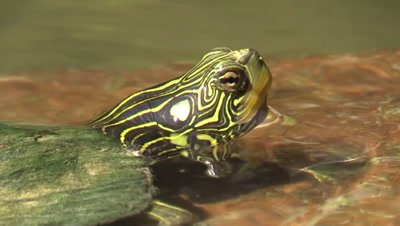 Geen slider turtle sunning on river rock