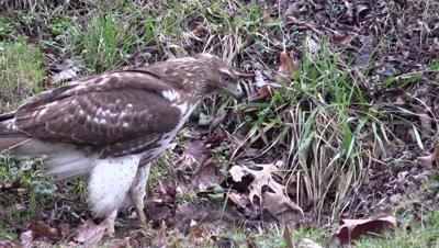 Hawk Northern Harrier feeding on a carcass