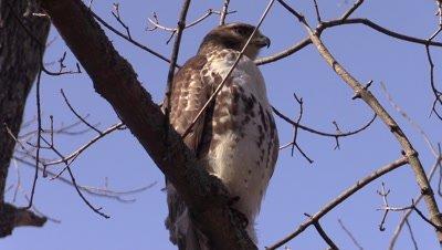 Hawk Northern Harrier in tree winter forest blue sky