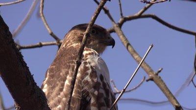 Bird of prey Hawk Northern Harrier in tree winter blue sky