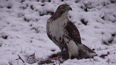 Bird of prey Hawk Northern Harrier feeding on carcass in snow