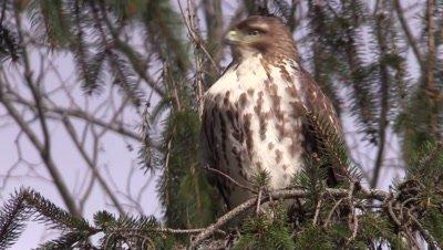 Hawk Northern Harrier in tree winter forest