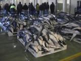 Dead Blue Sharks On Pallets. People In Background. At Vigo Fish Market, Spain.