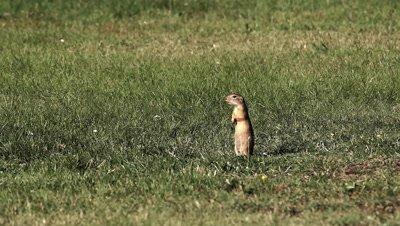 Ground Squirrels (Spermophilus citellus) on meadow in national park Fertöd Neusiedlersee