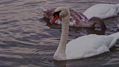 Swans (Cygnini) swimming on a lake
