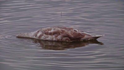 Swan (Cygnini) diving on a lake