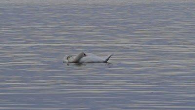 Sleeping Swan (Cygnini) on a calm lake
