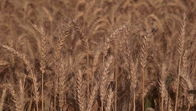 Rye (Secale cereale) field with ripe cereal in summer