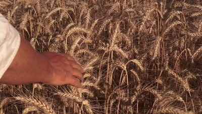 Hand moving over rye (Secale cereale) field with ripe cereal in summer