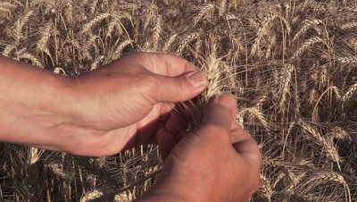Hands examining the spices of rye (Secale cereal) of ripe cereal in the summer