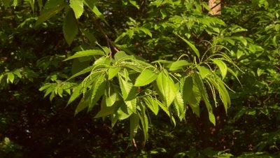 Blossoms and leaves of chestnuts (edible nut of Castanea sativa)
