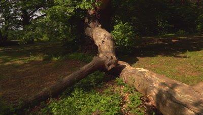 Old chestnut tree (edible nut of Castanea sativa)
