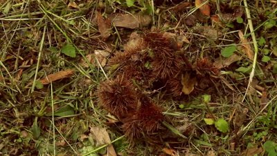 Chestnuts (edible nut of Castanea sativa) on forest floor