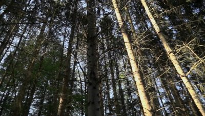 Trees in dense coniferous forest with rotating camera against sky