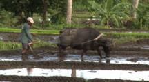 Water Buffalo Pulls Plough Through Rice Field