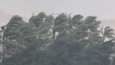 Extreme Hurricane Winds Lash Palm Trees