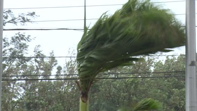 Palm Tree Thrashes In Tropical Storm Winds