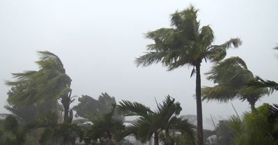 Palm Trees Thrash In Hurricane Wind