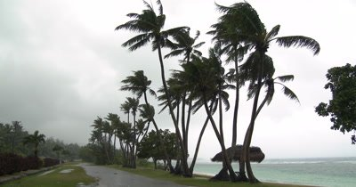 Tall Palm Trees Sway In Breeze And Rain As Hurricane Approaches