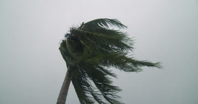 Palm Tree Thrashes As Hurricane Winds Strike