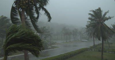 Palm Trees Sway And Thrash In Hurricane Eyewall Wind