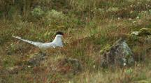 Arctic Tern Sits On Ground Nest