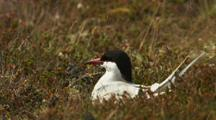 Arctic Tern Flies From Ground Nest