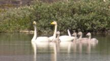 Whooper Swans And Cygnets Swim In Family Group