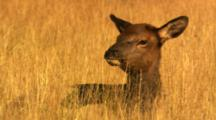 Baby Elk Laying In Golden Grass Looks Around, Then Lays Head Down - Medium/Tight