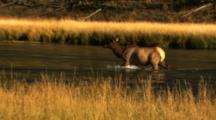 Elk Wades Across River