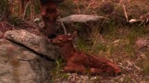 Newborn Elk Calf Lays On Ground, Mother Licks/Cleans It - Medium