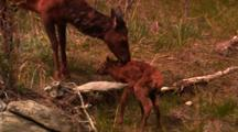 Cow Elk Watches Newborn Elk Calf Stand For The First Time - Medium