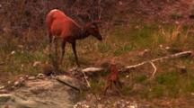 Cow Elk Watches As Her Newborn Calf Walks For The First Time - Medium