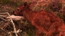 Newborn Elk Calf, Tilt Up From Wobbly Legs