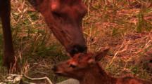 Mother Licks Newborn Elk Calf - Tight