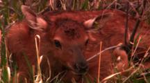 Tight Shot Of Newborn Elk Calf Laying In Brush