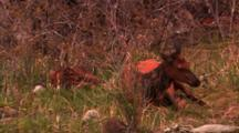 Newborn Elk Calf And Cow Elk Lay In Brush - Medium