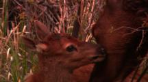 Tight Shot Of Newborn Elk Calf Laying In Brush, Cow Elk Licks It - Tight