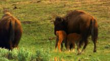 Bison Cow Nurses Two Calves - Medium